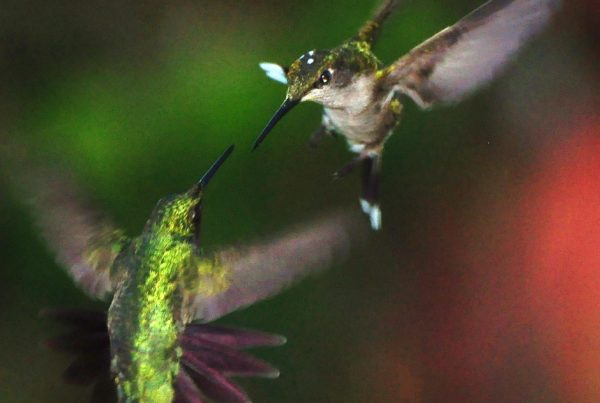Humming birds in combat